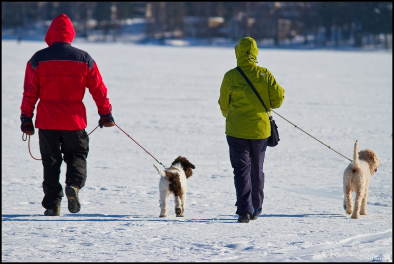 Walking dogs on ice